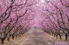 Keväiset kirsikankukat