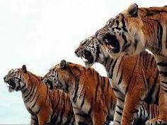 Un grupo de tigres peligrosos.