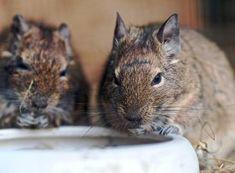 Animals And Pets, Cute Animals, Chinchilla, My Princess, Squirrels, Terrarium, Brain, Photography, Small Animals