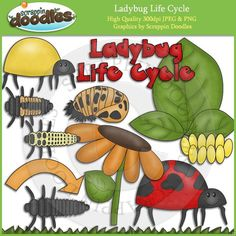 Ladybug Life Cycle Clip Art Download