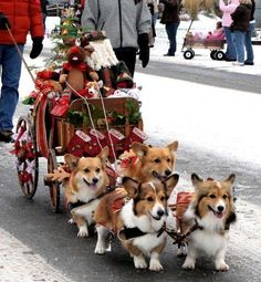 Corgi Sleigh—love this! My sister has a Corgi & they are the happiest dogs : )