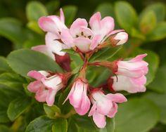 Escallonia 'Apple Blossom' Hedging Plants, Shrubs, Hedges, Flower Power, Rose, Garden, Flowers, Coastal, Apple