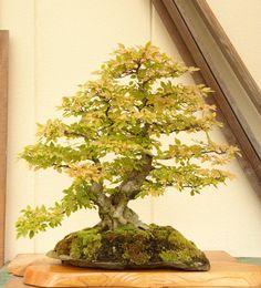 Stone with bonsai Iwashide on a rock 2013.10.20 shooting in sardine