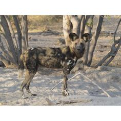 African Wild Dog (Lycaon pictus) standing in a forest Okavango Delta Ngamiland Botswana Canvas Art - Panoramic Images (12 x 16)