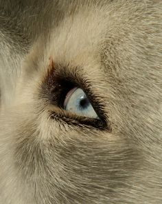 Blue Marble: My husky had eyes this color... beautiful blue.
