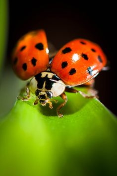Close, close, close-up of ladybug with wings spread