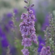 Floret_Larkspur_Earl Gray-5- chill in refrigerator then direct seed in April