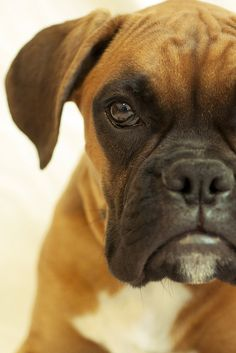 Boxer They may drool, a lot.my boxer Milo steals my heart everyday Boxer Puppies, Dogs And Puppies, Doggies, Havanese Puppies, Boxer Mix, Rottweiler, I Love Dogs, Cute Dogs, Animals Beautiful
