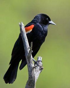 Red-winged Blackbird photo - Dan Nihiser photos at pbase.com