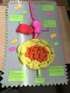 Sindirim sistemi maketi 7.sınıf öğrencisinden