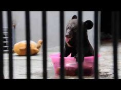 Smudge is a four month old cub who lives at Nanning Bear Farm and he's too cute for life. | Meet Smudge, The Cutest Baby Bear In The Whole Wide World
