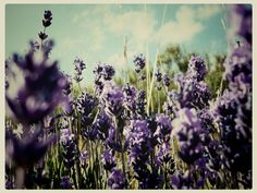 Know Your Ingredients: Lavender Essential Oil