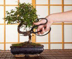 Bonsai - Pflege und Schneiden für Anfänger