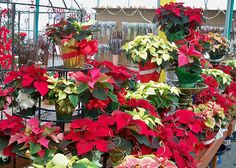 "Our Edgerton location has been busy growing our incredibly beautiful poinsettias for the holiday season! We have a *great* selection of 4"", 6"", and 8"" size pots. Stop by our Cottage Grove greenhouse or Edgerton Floral & Garden Center and pick some up for your family, friends, and of course for yourself!"