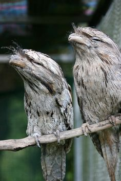 tawny frogmouth. A bird that thinks it's invisible.