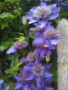 Clematis gives your garden a touch of ingenuity and beauty. Makes things easygoing.