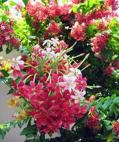 Quisqualis indica (Single petal) aka Rangoon Creeper Perennials are plant l. - Anime Line Flowers Nature, Exotic Flowers, Amazing Flowers, Pink Flowers, Beautiful Flowers, Plante Jasmin, Long Blooming Perennials, Small Shrubs, Climbing Vines