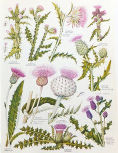 Thistles, Botanical Drawings, two vintage flower illustrations, old botanical…