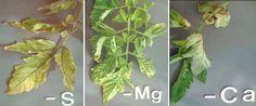 Identifying nutrient deficiencies in you vegetable garden.