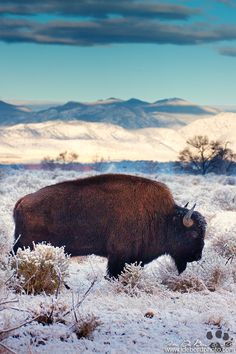 Want to discover art related to bison? Check out inspiring examples of bison artwork on DeviantArt, and get inspired by our community of talented artists. Beautiful Creatures, Animals Beautiful, Cute Animals, American Bison, American Gods, Mundo Animal, Mule Deer, Photos Of The Week, Animal Photography