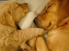 Golden retrievers.....awwww.