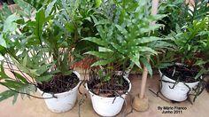 Meu cantinho verde: SAMAMBAIA-JAMAICA - ( Phymatosorus scolopendria. )
