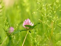 Flowering clover in grass ... Did you know you can eat these? Veeery tasty :)