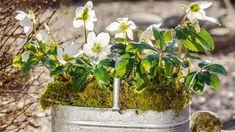 Čemeřice černá (Helleborus niger) rozkvétá vdobě, kdy většina ostatních rostlin ještě spí. Často dokonce dřív, než se zchladné půdy vynoří zelené nosánky otužilých sněženek. Taková trvalka si své místo na zahradě rozhodně zaslouží! Plants, Plant, Planets