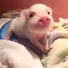 Cute Pig - Mini Pig 😘🤗😊 Credit: 📸 [Thank you very much! Cute Baby Pigs, Baby Animals Super Cute, Cute Piglets, Cute Little Animals, Cute Funny Animals, Cute Dogs, Baby Piglets, Baby Animals Pictures, Cute Animal Pictures