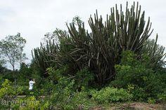 Cactus Gigante en el Impenetrable Chaqueño