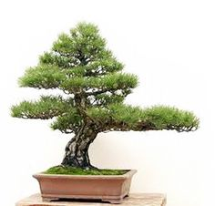 Robert Steven Critiques a Black Pine and Offers Some Insights into the Five Schools of Penjing