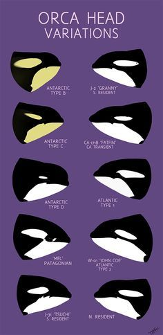 Orcas, Arte Orca, Orca Art, Le Morse, Under The Water, Animal Species, Endangered Species, Animal Facts, Marine Biology