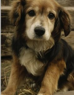 OH DEAR LORD!!    Golden retreiver beagle mix. Too cute.