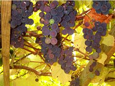 grape arbors how-to