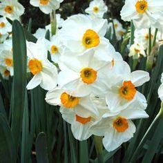 Narcisse 'Geranium' (lot de 9)