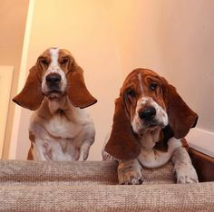 Basset Dean & Chief