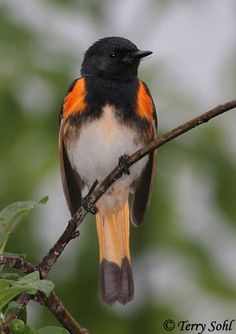 American Redstart is a New World warbler. It is unrelated to the Old World redstarts. It derives its name from the male's red tail, start being an old word for tail.