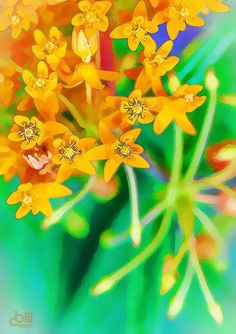 ~~~~butterfly weed - Asclepias tuberosa by cbiiidesigns~~
