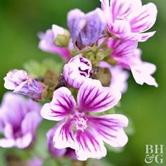 At first glance, you might think Malva is a member of the hibiscus family. That's because this easy-care perennial develops masses of pink, open-face hibiscuslike flowers delicately etched with dark purple stripes. Malva, also called common mallow, grows 2-4 feet tall and blooms nonstop from mid summer to early fall. It's a fast-growing perennial that prefers full sun but is tough enough to thrive in partial shade. Malva can handle almost any soil type, but it doesn't have a long lifespan…