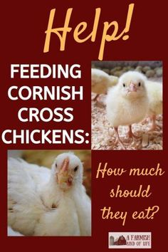 Our feed and cost stats from one season of feeding Cornish Cross meat birds.make sure you're not feeding TOO much, and your birds will still be able to move! Feeding Cornish Cross Chickens: How Much Should They Eat? - A Farmish Kind of Life Meat Chickens Breeds, Raising Meat Chickens, Chicken Eating, Chicken Feed, Chicken Coops, Day Old Chicks, Laying Hens, Urban Chickens, Cornish Hens
