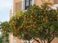 Orangen pflanzen - Calamondin-Bäume in der Altstadt von Ibiza