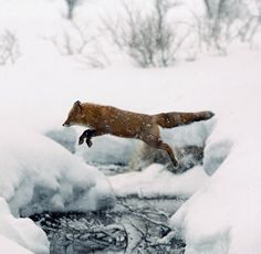 The red fox jumped over the river . Beautiful Creatures, Animals Beautiful, Cute Animals, Wild Animals, Animal Fun, Mourning Dove, Over The River, Winter Beauty, Red Fox