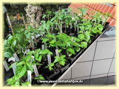 Growing chilis in Berlin