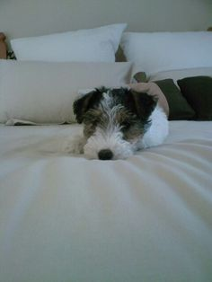 "Wire Fox Terrier - Pickles ""panda-eye"" when she was a puppy ♥"