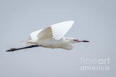 White Morph Reddish Egret Print By Debra Martz