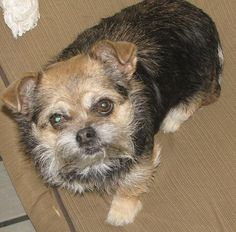 Miley is a 4 years old sweet #BrusselsGriffon mix #puppy that can't wait to find her new best friend in life. This sweet baby is looking for a place to finally call her own and a companion to spend lots of time with. http://www.doggielife.com/miley/dogs/VX14FR