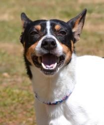 Meet Coy in CT, an adopted Rat Terrier Mix Dog, from Friends of Homeless Animals, Inc. in Providence, RI on Petfinder. Learn more about Coy in CT today. Rat Terrier Dogs, Toy Fox Terriers, Dog Sounds, American Dog, Farm Dogs, Loyal Dogs, Dogs And Puppies, Doggies, Cute Creatures