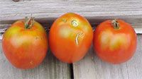 Controlling Tomato Yellow Shoulders (National Gardening Association)