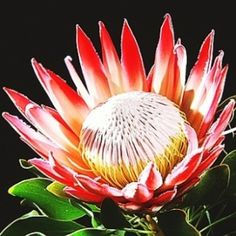 The King Protea ( Protea cynaroides ) is a flowering plant . It is a distinctive Protea , having the largest flower head in the ge. Protea Flower, Flower Petals, Flower Art, Unusual Flowers, Beautiful Flowers, Flowers Nature, Wild Flowers, King Protea, Language Of Flowers