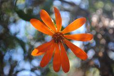 Aplophyllum decurrens Flor epifita.